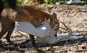 Fox killing egret
