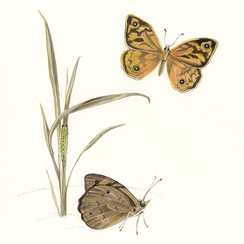 Australian Brown Butterfly illustration