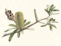 Coast Banksia illustration