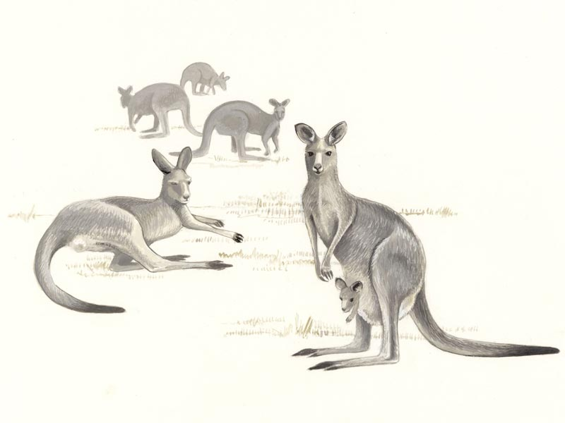 Eastern Grey Kangaroo illustration