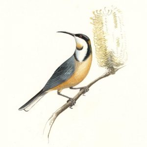 Eastern Spinebill illustration