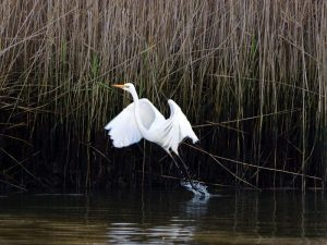 Great Egret at Tarwin River