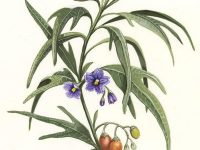Kangaroo Apple illustration