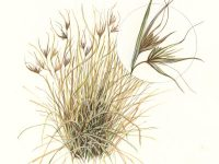 Kangaroo Grass illustration