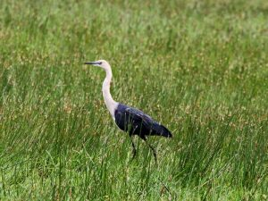 Pacific (White-necked) Heron