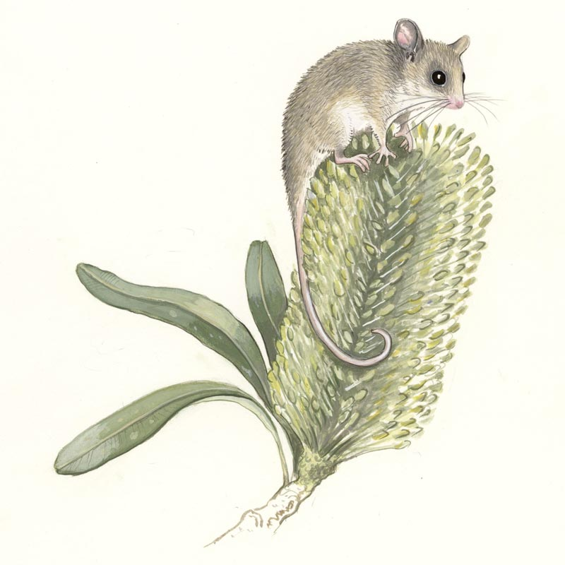 Pygmy Possum illustration