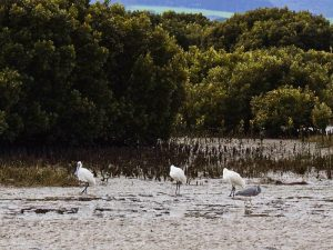 Royal spoonbills and white faced heron