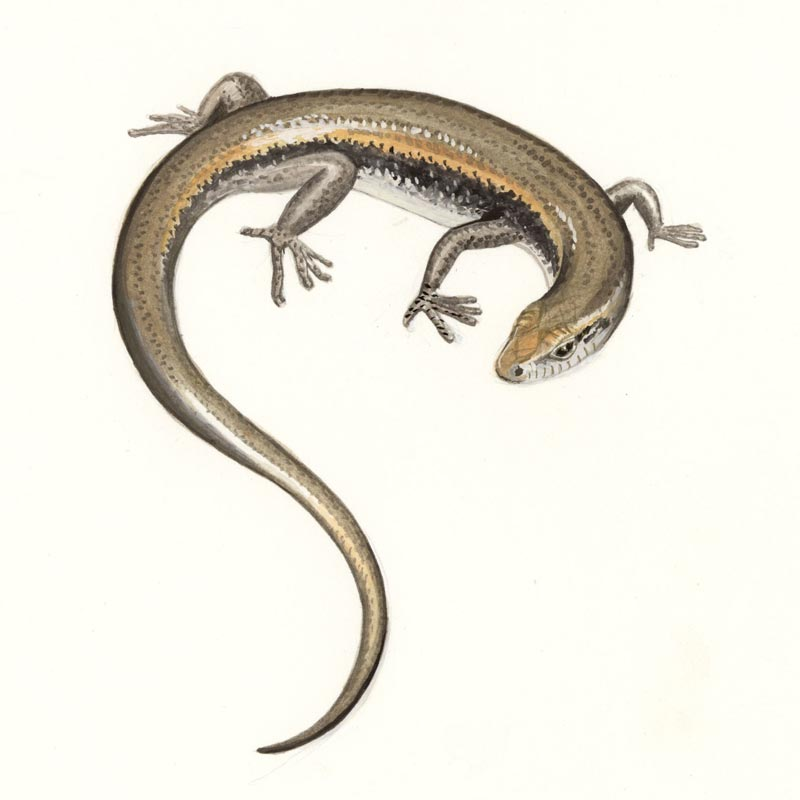 Skink illustration