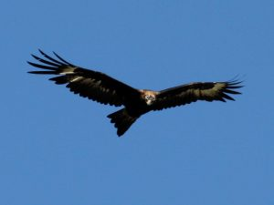 Wedge Tailed Eagles dominate the skies at Venus Bay