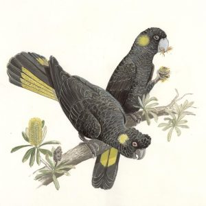 Yellow Tailed Black Cockatoo illustration