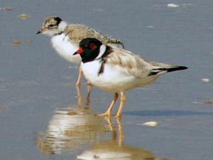Hooded Plover Protection